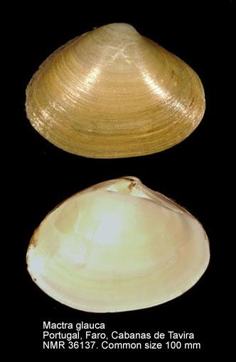 Mactra glauca