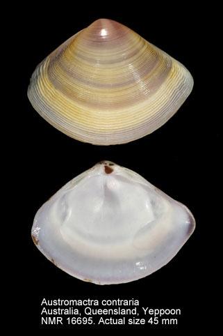 Austromactra contraria
