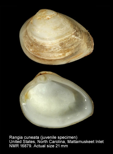 Rangia cuneata