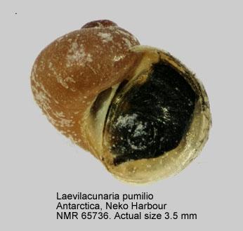 Laevilacunaria pumilio