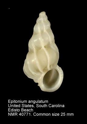 Epitonium angulatum