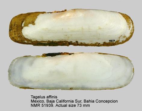 Tagelus affinis