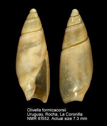 Olivella formicacorsii