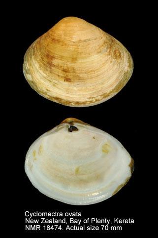 Cyclomactra ovata
