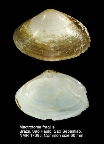 Mactrotoma fragilis