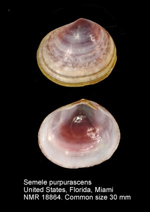 Semele purpurascens