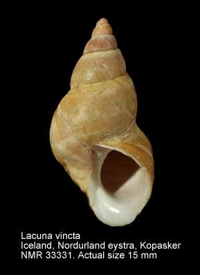 Lacuna vincta