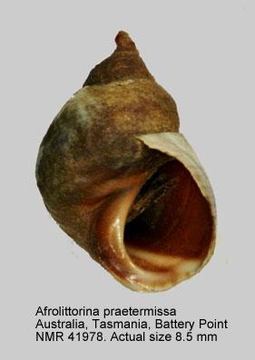 Afrolittorina praetermissa