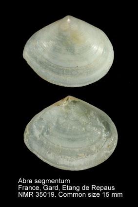 Abra segmentum