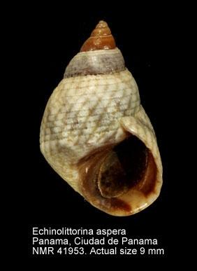 Echinolittorina aspera