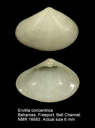 Ervilia concentrica