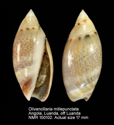 Olivella millepunctata