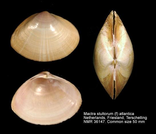 Mactra stultorum