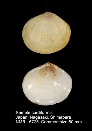 Semele cordiformis