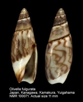 Olivella fulgurata