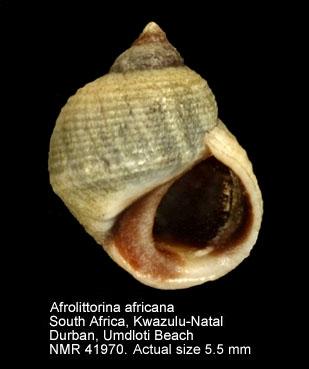 Afrolittorina africana