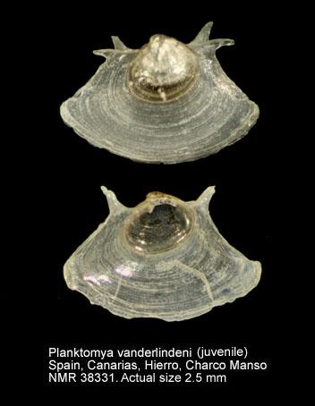 Planktomya vanderlindeni