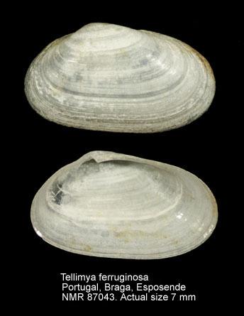 Tellimya ferruginosa