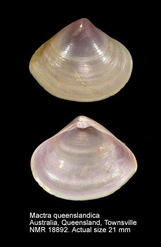 Mactra queenslandica