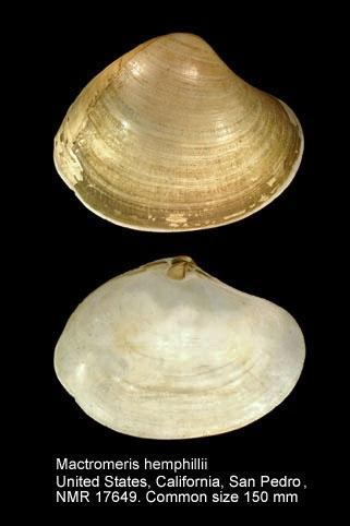 Mactromeris hemphillii