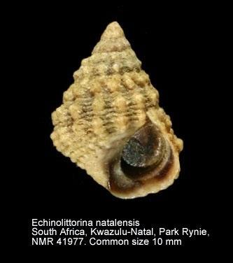 Echinolittorina natalensis