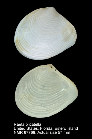 Raeta plicatella