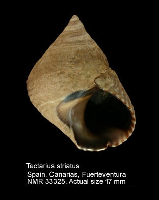 Tectarius striatus