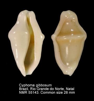 Cyphoma macumba