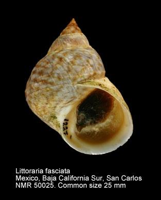 Littoraria fasciata