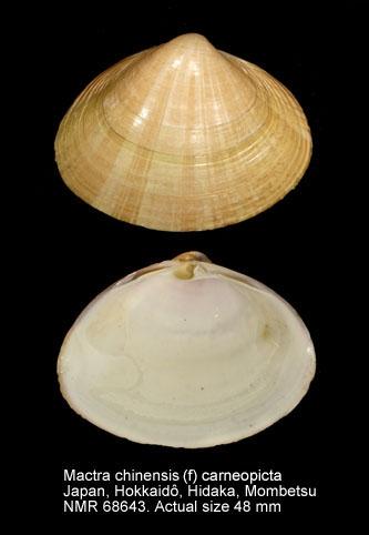 Mactra chinensis