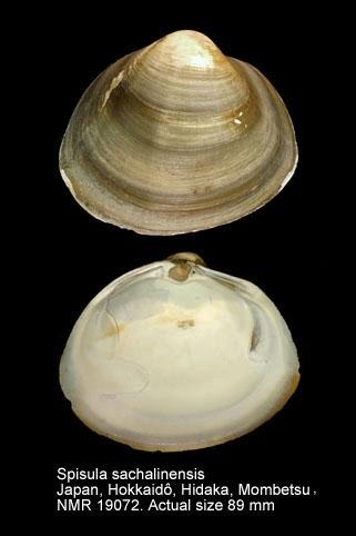 Spisula sachalinensis