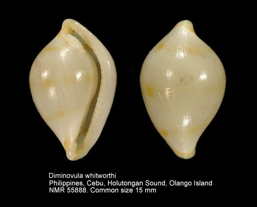 Diminovula whitworthi