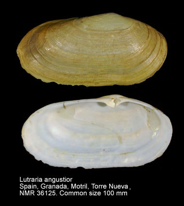 Lutraria angustior