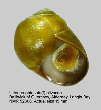 Littorina obtusata
