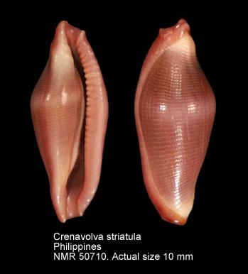 Crenavolva striatula