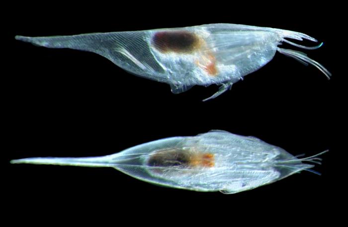 Conchoecilla daphnoides female