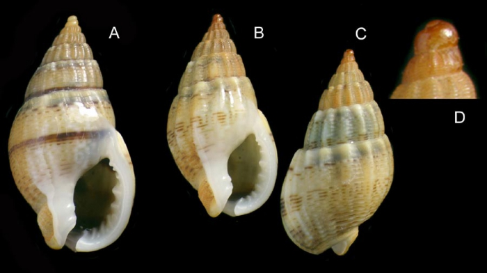 Nassarius unifasciatus (Kiener, 1834) Specimens from La Goulette, Tunisia (among seagrass Cymodocea nodosa, 20.11.2008), actual size 14.5 and 12.5 mm. D: Protoconch and early whorls, same specimen as C.