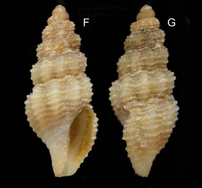 Bela brachystoma (Philippi, 1844) Specimen from La Goulette, Tunisia (soft bottoms 10-15 m, 19.01.2010), actual size 4.8 mm.