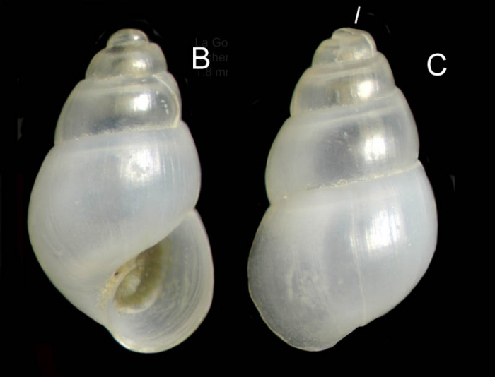 Odostomia lukisii Jeffreys, 1859Specimen from La Goulette, Tunisia (among algae 0-1 m, 22.06.2008), actual size 1.8 mm.