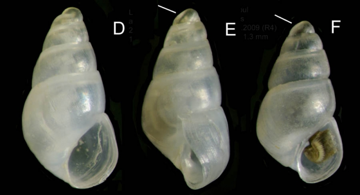 Odostomia kromi van Aartsen, Menkhorst &  Gittenberger, 1984Specimens from La Goulette, Tunisia (among algae 0-1 m, 27.05.2009), actual size 1.6 et 1.3 mm