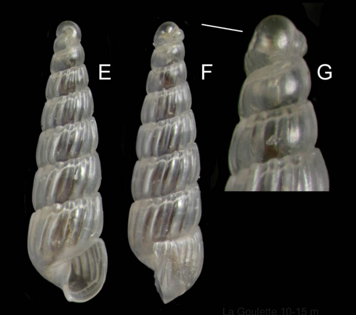Turbonilla delicata (Monterosato, 1874) Specimen from La Goulette, Tunisia (soft bottoms 10-15 m, 18.08.2009), actual size 2.7 mm. G: protoconch, same specimen, the line indicates coiling axis.
