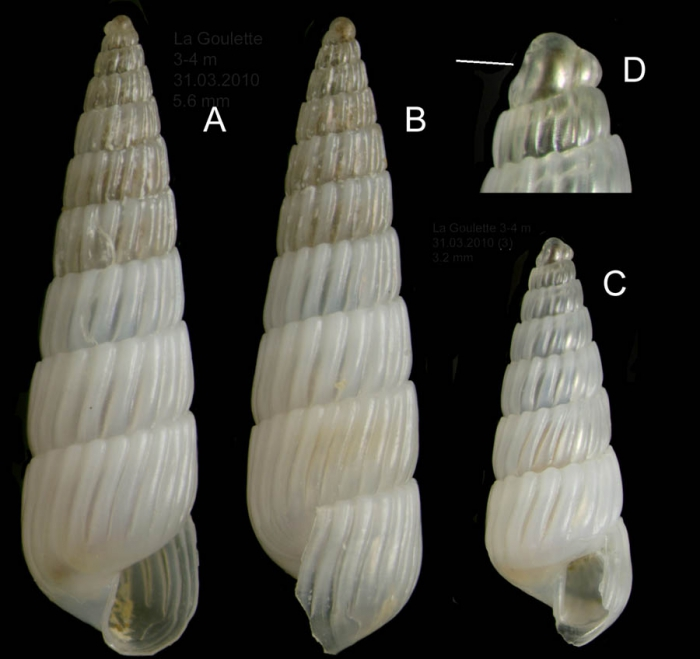 Turbonilla gradata Bucquoy, Dautzenberg & Dollfus, 1883Specimens from La Goulette, Tunisia (soft bottoms 3-4 m, 31.03.2010), actual size 5.6 mm and 3.2 mm; D: protoconch, same specimen as C, the line indicates coiling axis.