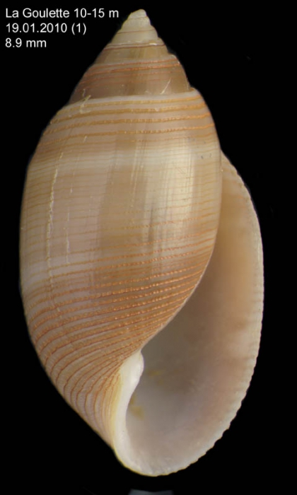 Acteon tornatilis (Linnaeus, 1758)Specimen from La Goulette, Tunisia (soft bottoms 10-15 m, 19.01.2010), talle relle 8.9 mm