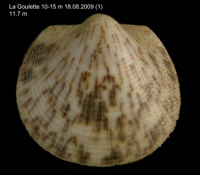 Glycymeris violacescens (Lamarck, 1819) Juvenile specimen from La Goulette, Tunisia (soft bottoms 10-15 m, 18.08.2009), actual size 11.7 mm