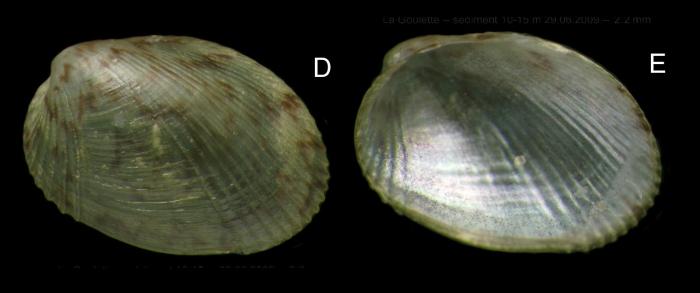 Musculus subpictus (Cantraine, 1835) Specimen from La Goulette, Tunisia, soft bottoms 10-15 m, 29.06.2009), actual size 2.2 mm.