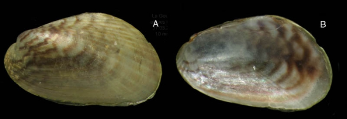 Arcuatula senhousia (Benson in Cantor, 1842) Specimen from La Goulette, Tunisia among algae, 31 03 2009), actual size 10 mm.