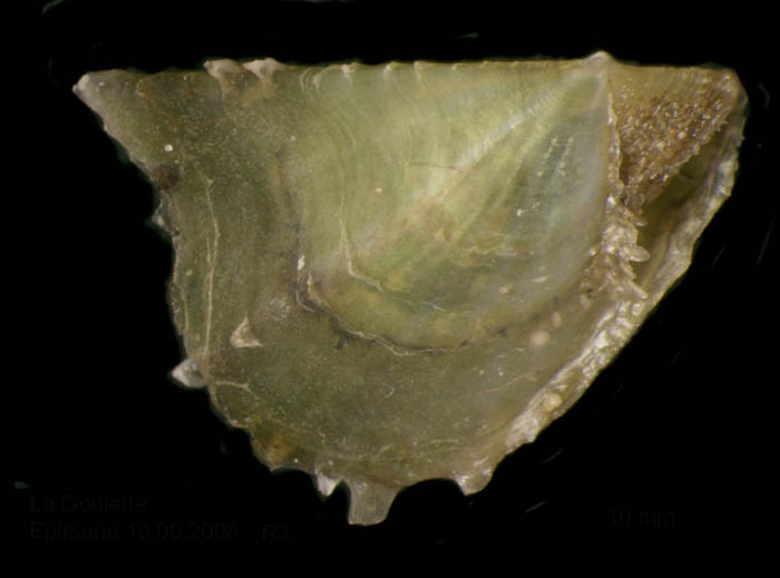 Pinctada radiata (Leach, 1814) Juvenile specimen from La Goulette, Tunisia (among seagrass Cymodocea nodosa, 29.09.2008), actual size 10 mm.