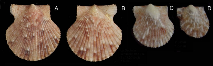 Aequipecten opercularis (Linnaeus, 1758) Juvenile specimens from La Goulette, Tunisia (soft bottoms 10-15 m, 31.03.2010), actual size 6.2 mm, 2.5 mm and 1.6 mm
