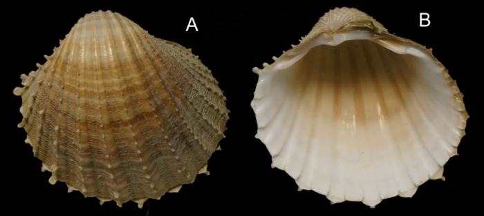 Acanthocardia paucicostata (Sowerby G.B. II, 1841) Specimen from La Goulette, Tunisia (soft bottoms 10-15 m, 23.12.2009), actual size 25.8 mm.