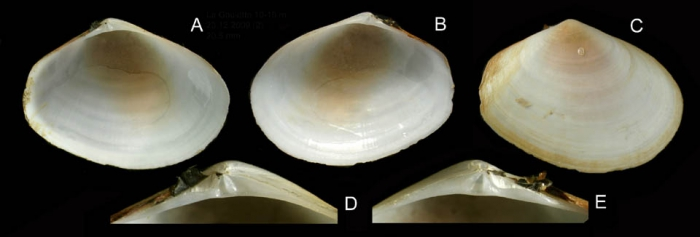 Macoma cumana (Costa, 1829) Specimen from La Goulette, Tunisia (soft bottoms 10-15 m, 23.12.2009), actual size 20.5 mm